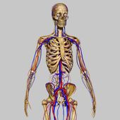 Skeleton with nervous system — Stock Photo