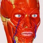 Facial muscles — Stock Photo #47996909