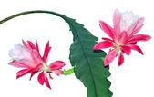 Epiphyllum cactus flowers — Stock Photo