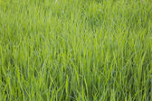 Gras. closeup — Stockfoto