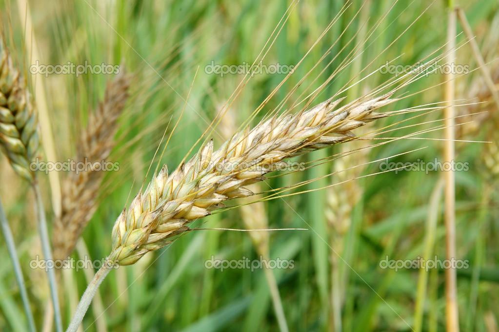 Piante di cereali — Foto Stock © arcadi1962 #48797391