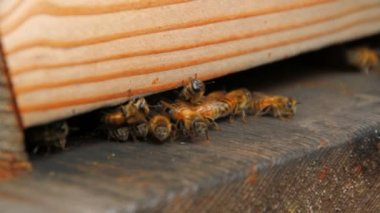 Honeybees going in and out of hive — Stock Video