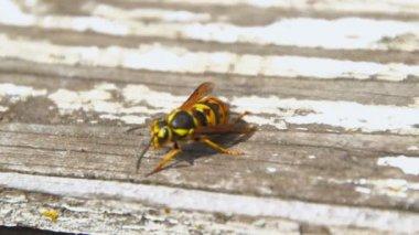Wasp and honeybee — Stock Video