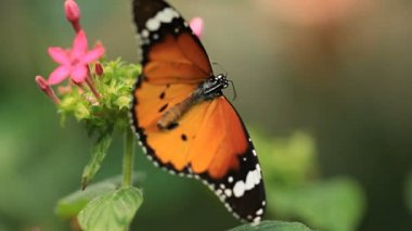 Macro clip of a butterfly on a flower. — Stock Video
