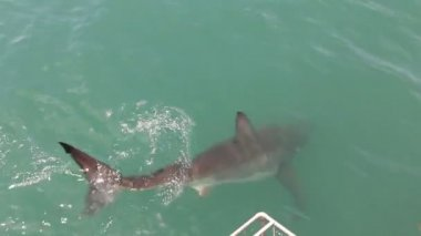 Great white sharks attacking a fish bate. — Stock Video