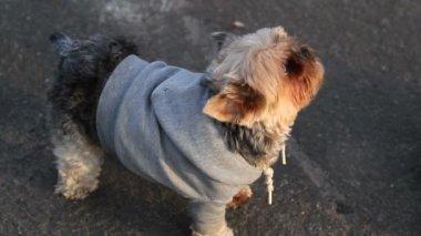Yorkie  barking — Стоковое видео