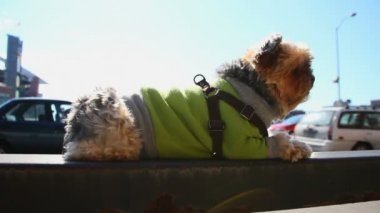 Yorkie laying on railing — Stock Video