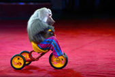 Monkey riding a bicycle in circus. — Stock Photo