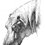 Hippopotamus head — Stock Vector #47156865