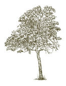 Deciduous tree — Stockvector