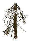 Old fir — Stock Vector