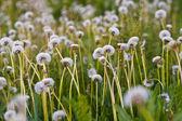 White dandelions — Stock Photo