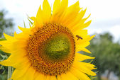 Sunflower and Flying Bee — Stock Photo