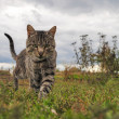 Walking Cat on Grass — Stock Photo #47672533