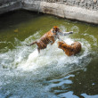 Tigers Play Fighting in Water — Stock Photo #47672555