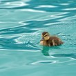 Young small duck — Stock Photo #48056667