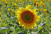 Yellow sunflowers grown for their oil — Stock Photo
