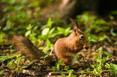 Squirrel sitting in the woods and gnaws nuts — Stock Photo