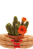 Hands holding a cactus — Stock Photo