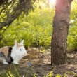 Snowshoe Hare in summer colours feeding on grass — Stock Photo