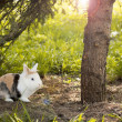 Snowshoe Hare in summer colours feeding on grass — Stock Photo #47371923