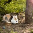 Snowshoe Hare in summer colours feeding on grass — Stock Photo #47371951