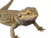 Pagona Reptile — Stock Photo