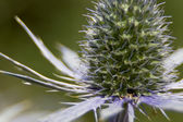 Spiky flower bud — Stock Photo