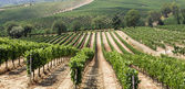 Vineyard in the area of production of Vino Nobile, Montepulciano — Stock Photo