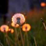 Постер, плакат: Dandelions in sunset