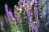 Flowering Sage with bokeh (Salvia nemarosa) — Stock Photo