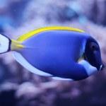 ������, ������: Powder blue tang Acanthurus leucosternon