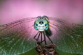 Dashing Blue Dasher — Stock Photo