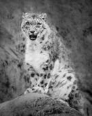 Snarling Snow Leopard II — Stock Photo