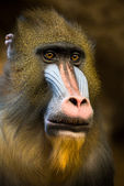 Mandrill II — Stock Photo