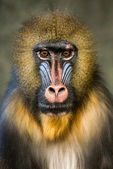 Mandrill III — Stock Photo