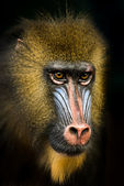 Mandrill IV — Stock Photo