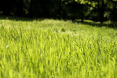 Simply grass — Stock Photo