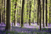 Bluebells forest — Stock Photo