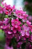 Ramita en flor — Foto de Stock