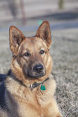 Young female German shepherd watching the fields at the end of the day — Stock Photo