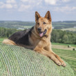 Young German Shepherd female dog laying on a bale of hay — Stock Photo #48900909
