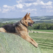 Young German Shepherd female dog laying on a bale of hay — Stock Photo #48900911
