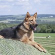 Young German Shepherd female dog laying on a bale of hay — Stock Photo #48900913