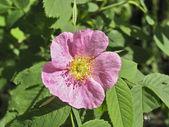 Light pink flower of rosehip — Stock Photo