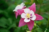 Wild pink Columbine Aquilegia flower — Stock Photo