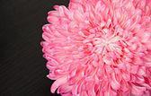Pink aster flower, closeup — Stock Photo