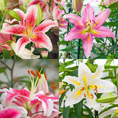 Pink, white tiger lily on green  — Stock Photo