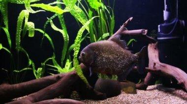 Piranha swimming in an aquarium — Stock Video