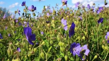 Wildflowers swaying in the wind — Stock Video